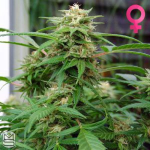 Nirvana Seeds – White Rhino
