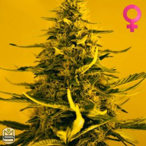 Nirvana Seeds – White Widdow