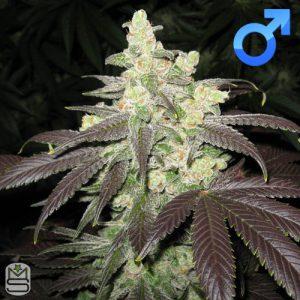 OG Raskal Seeds – Fire Alien Romulan