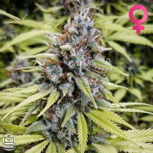 Oni Seed Co – Afghan Peach