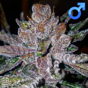 Oni Seed Co – Tropicana Cookies F2