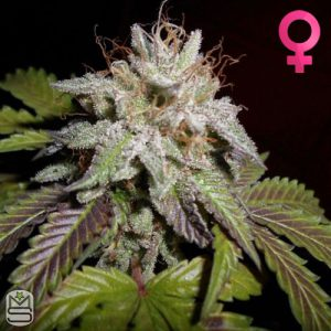 Pheno Finder Seeds – Sherbert
