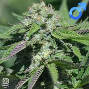 Platinum Seeds (Terp Hogz) – Caramel Pinaz