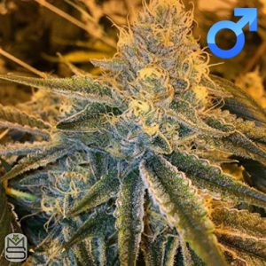 Seed Junky Genetics – Triangle Kush BX1