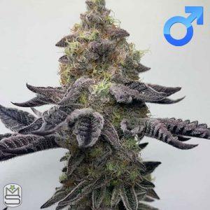 Seed Junky Genetics – Wedding Cake F4