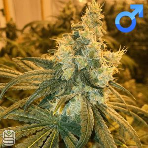 Symbiotic Genetics – Cherry Punch