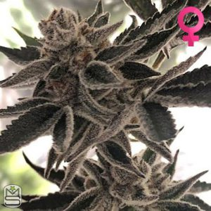 The Plug Seedbank – Do Si Dos Zkittles