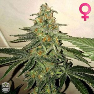 The Plug Seedbank – Forbidden Fruit Cake