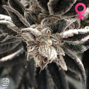 The Plug Seedbank – Punch The Cake