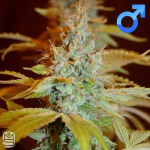 True Canna Genetics – Sagans Star