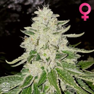 Karma Genetics – Fruity Pebble Rado