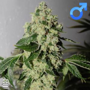 Karma Genetics – Headbanger