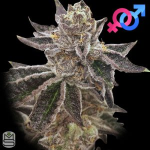 Rare Dankness – Cookie OX