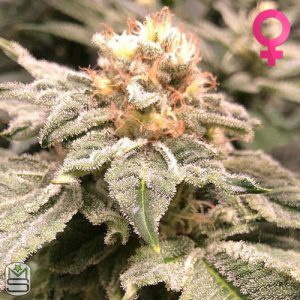 Cannarado Genetics – Altar Bread