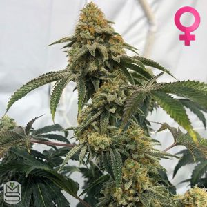 Cannarado Genetics – Birthday Cake S1