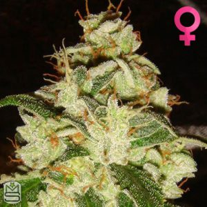 Lady Sativa Genetics – Knights Bridge OG
