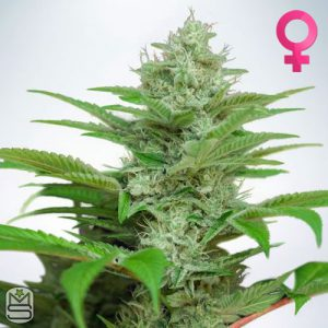Ministry Of Cannabis – Auto CBD Star