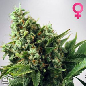 Ministry Of Cannabis – Auto White Widow