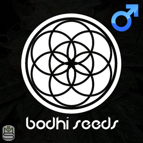 Bodhi Seeds - Regular