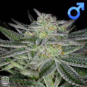 Dynasty Genetics – Huckleberry Kush V3
