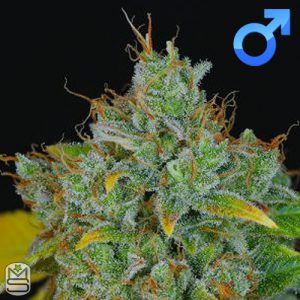 Dynasty Genetics – Sour Peach Cobbler
