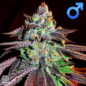 Jinxproof Genetics – 9lb Hammer