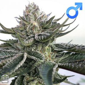 Symbiotic Genetics – Purple Starburst