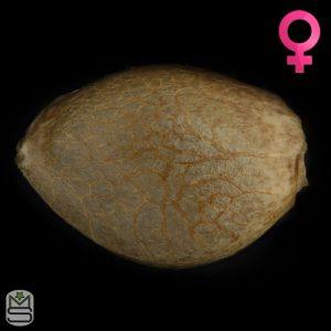 Humboldt Seed Organisation – LA Gelato