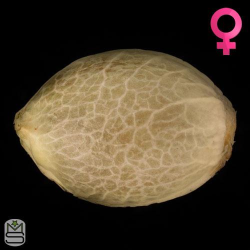 Humboldt Seeds Organisation - Sunshine Sherbert
