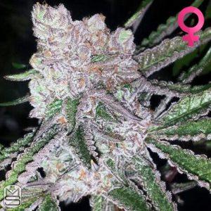 Mosca Seeds – Bubblegum Boogie