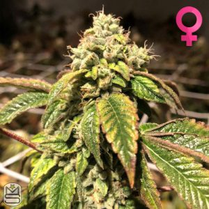 Pheno Finder Seeds – Blue Sherbalato