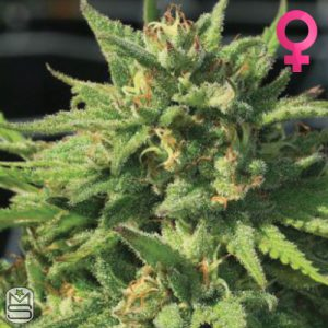 Humboldt Seed Company – Bigfoot Glue