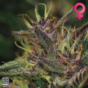 Humboldt Seed Company – Blueberry Muffin